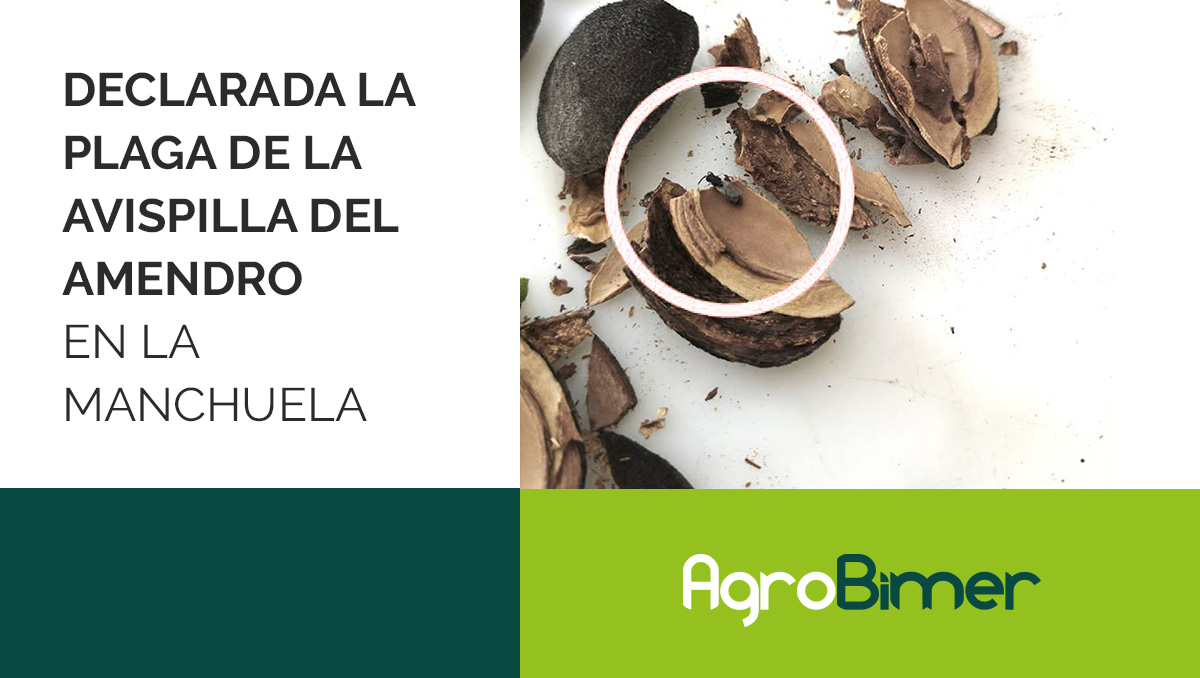 Plaga de la avispilla del almendro en La Manchuela